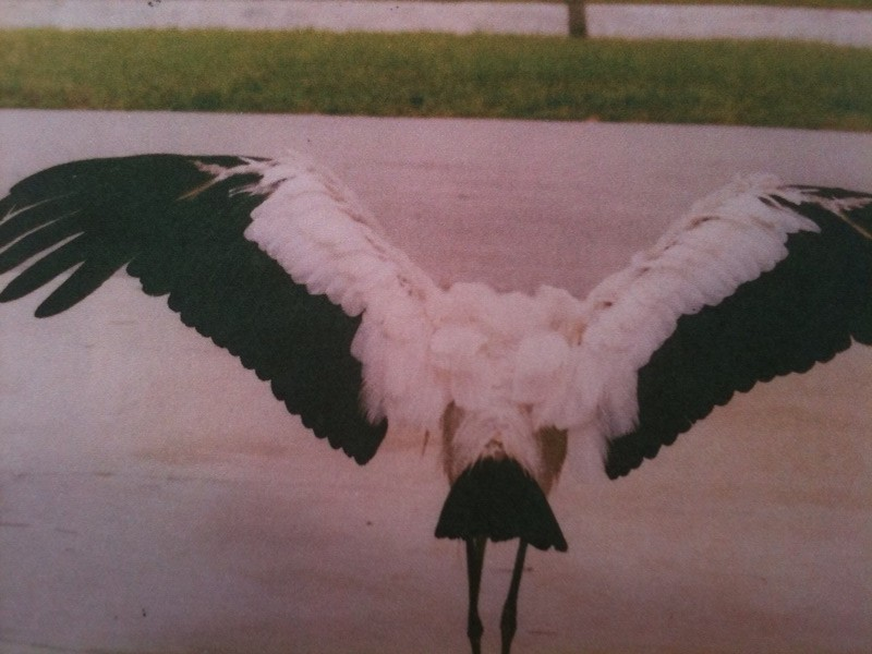 A picture of a picture from Mr. Miller&#039;s book showing the Wood Stork&#039;s wingspan.
