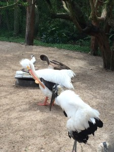 Injured wood stork, white pelican, brown pelican.