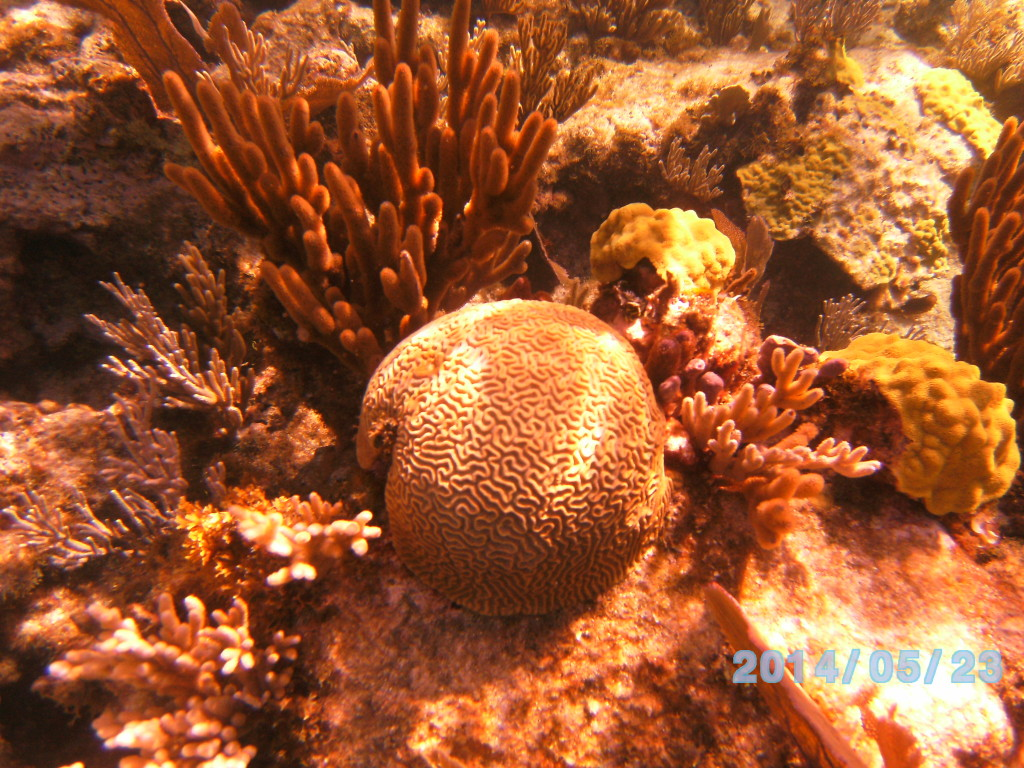Brain coral, Hard and soft corals