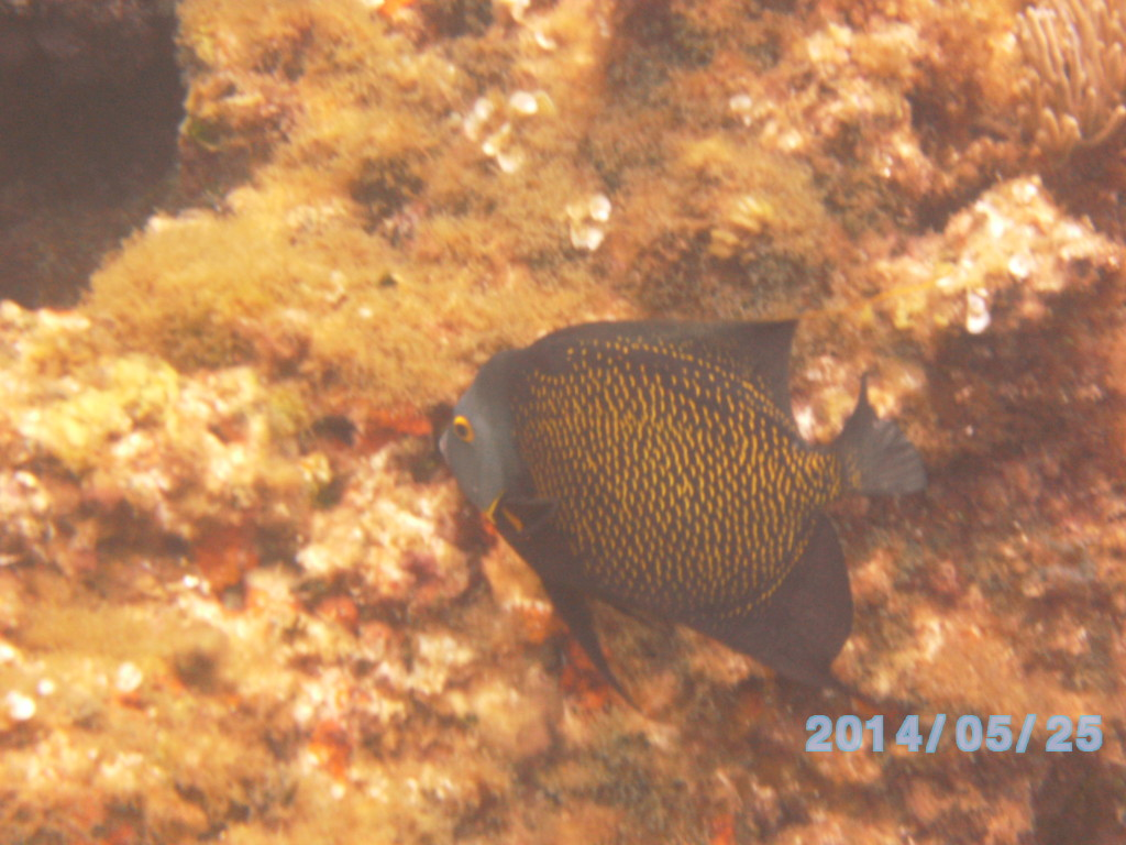 Angel Fish at Fowl Cay reef