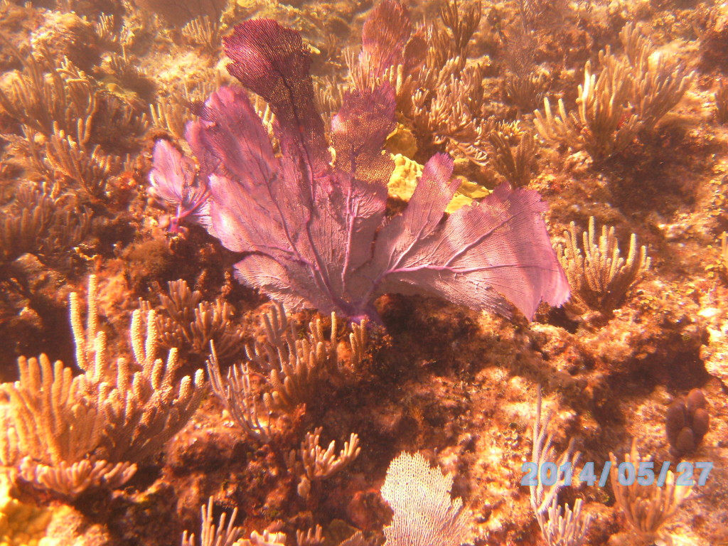 Big Purple Fan and other Soft Corals