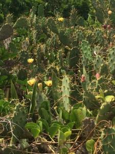 A garden of cacti